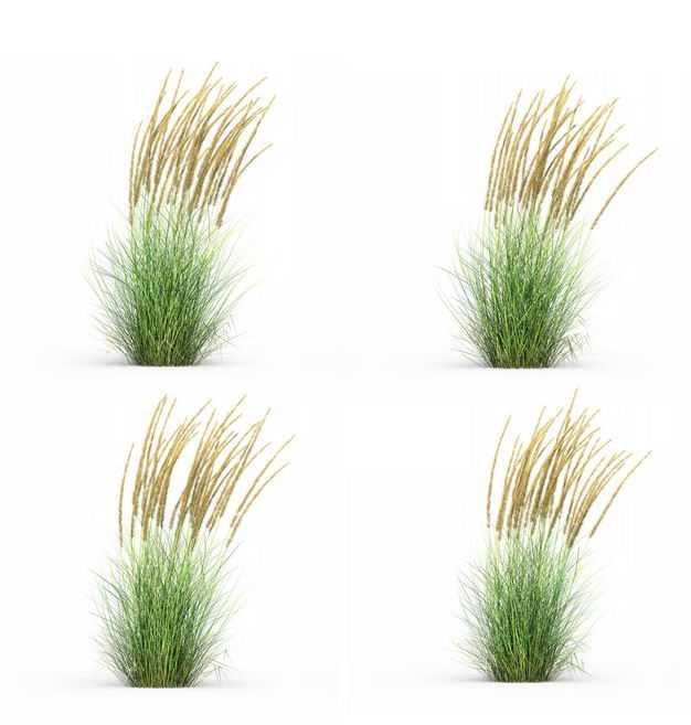 四款3D渲染的蒲苇羽毛芦苇草园艺绿植观赏植物974269免抠图片素材