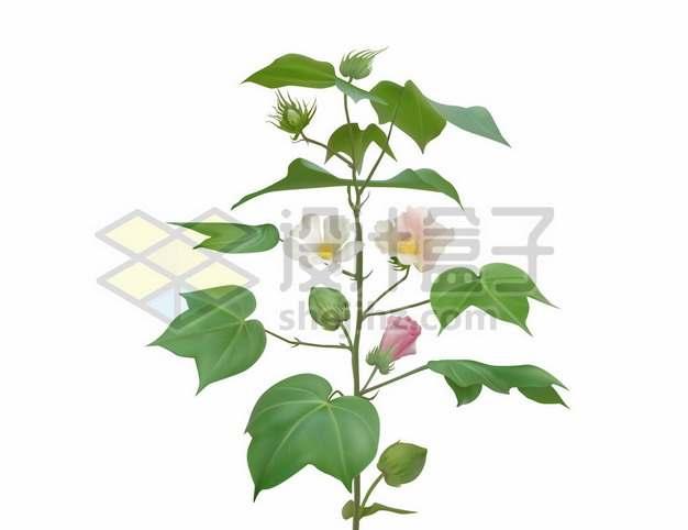 开着彩色花朵的棉花植物974994图片素材