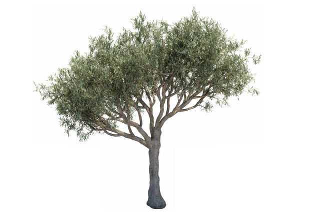 一棵3D渲染的木犀榄绿色大树盆栽植物盆景543361免抠图片素材