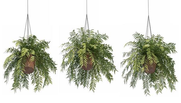三款3D渲染的桫椤异叶南洋杉吊兰盆栽绿植观赏植物259140免抠图片素材 生物自然-第1张