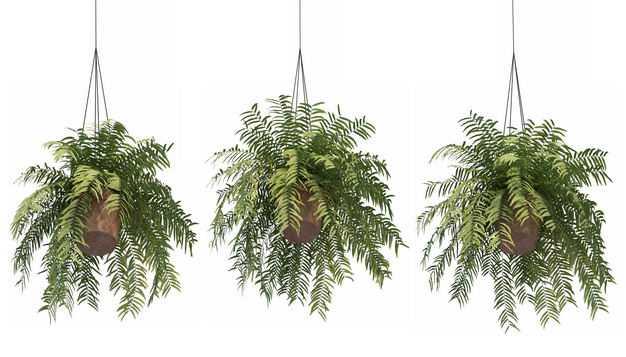三款3D渲染的桫椤异叶南洋杉吊兰盆栽绿植观赏植物259140免抠图片素材