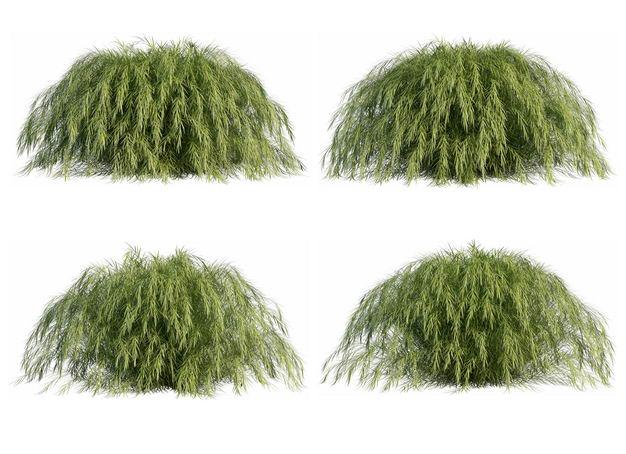 四棵3D渲染的地肤灌木丛盆栽植物盆景469556PSD免抠图片素材 生物自然-第1张