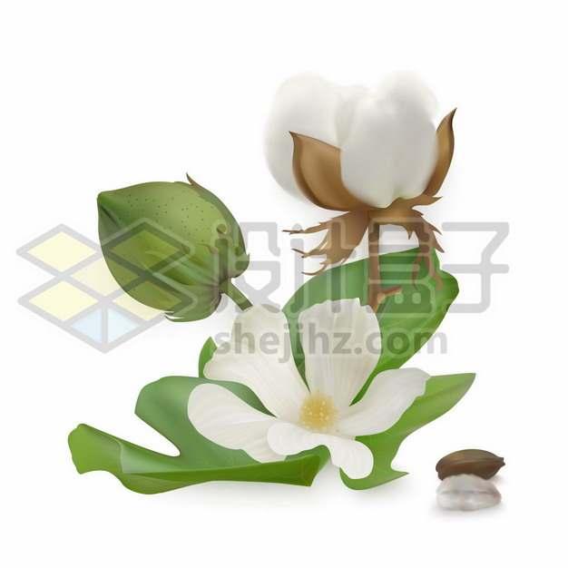 棉花种子和花朵绿叶203478图片素材