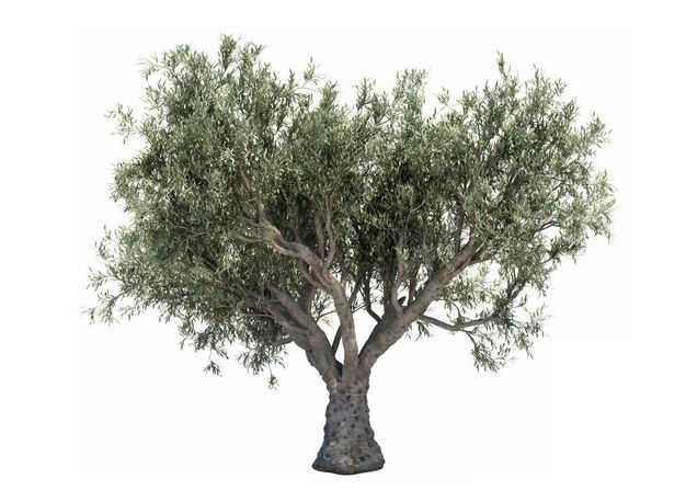 一棵3D渲染的白皮松绿色大树盆栽植物盆景853604免抠图片素材