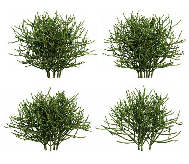 四款3D渲染的浓密绿玉树大戟科绿植观赏植物714410免抠图片素材 生物自然-第1张