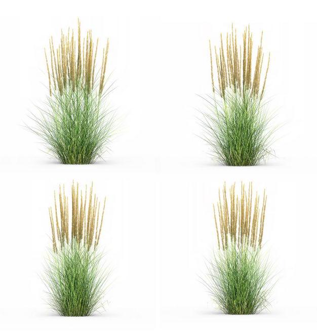 四款3D渲染的蒲苇羽毛芦苇草园艺绿植观赏植物900295免抠图片素材 生物自然-第1张