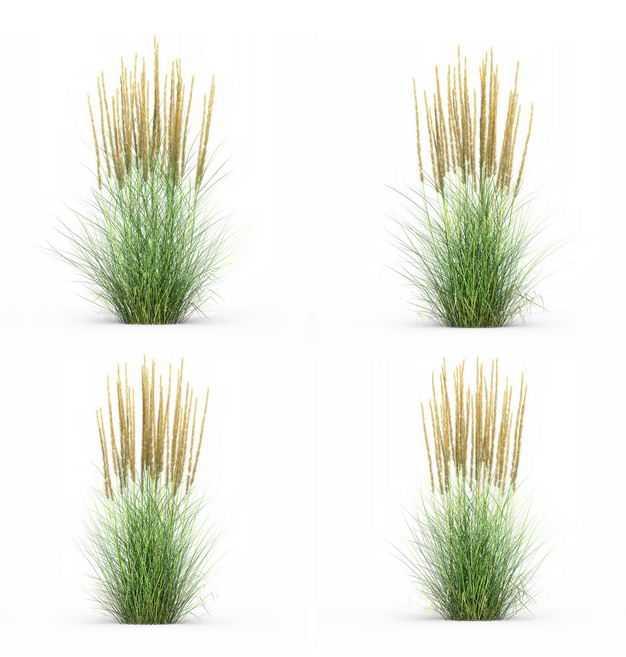 四款3D渲染的蒲苇羽毛芦苇草园艺绿植观赏植物900295免抠图片素材