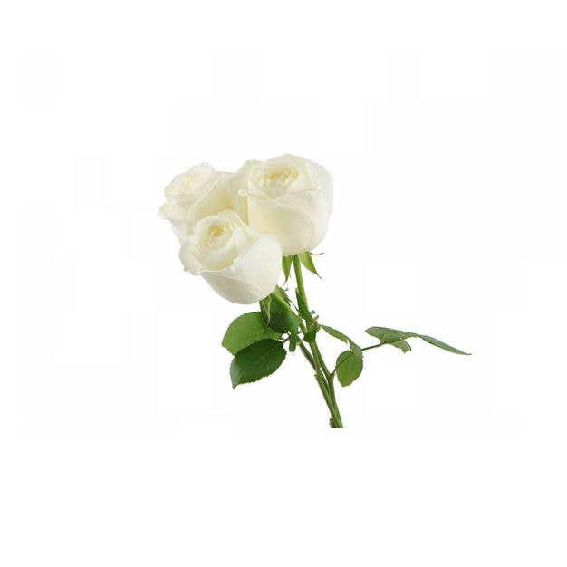 三朵白玫瑰花朵花卉白色花朵756431png图片免抠素材 生物自然-第1张