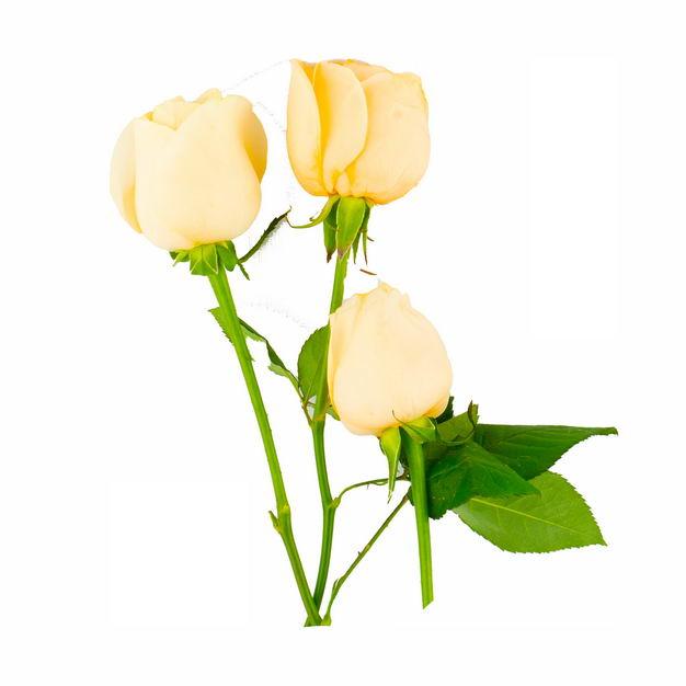 三朵黄玫瑰花鲜花黄色花朵837353png图片免抠素材 生物自然-第1张