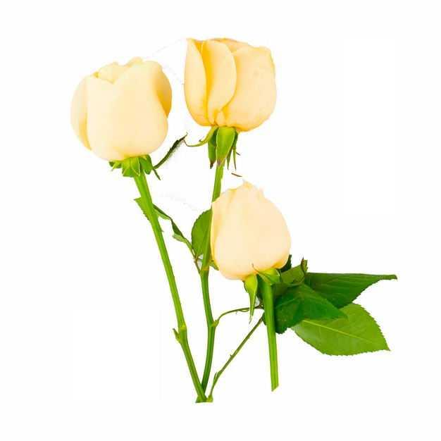 三朵黄玫瑰花鲜花黄色花朵837353png图片免抠素材