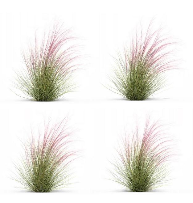 四款3D渲染的细茎针茅野草园艺绿植观赏植物326693免抠图片素材 生物自然-第1张