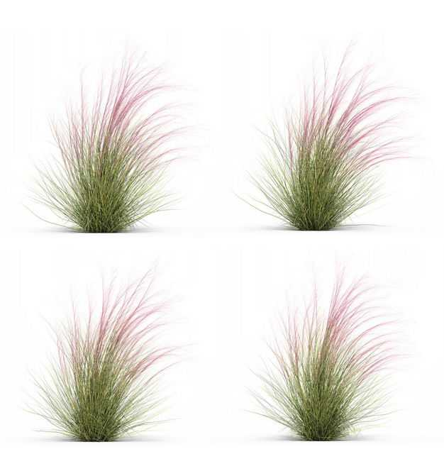 四款3D渲染的细茎针茅野草园艺绿植观赏植物326693免抠图片素材