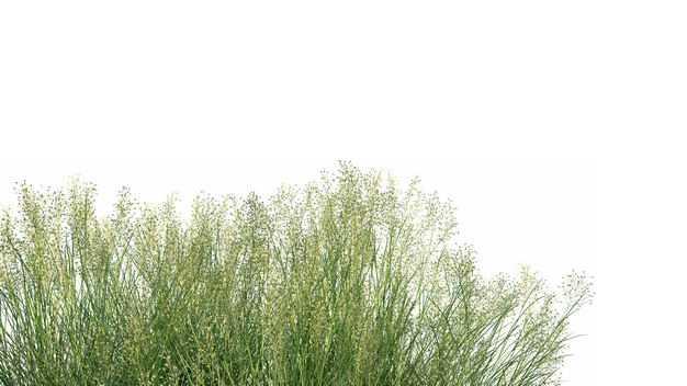 柳枝稷野草园艺绿植观赏植物386137免抠图片素材