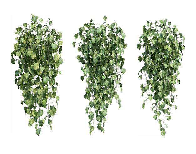 三款3D渲染的常春藤绿萝观叶植物盆栽植物盆景178143PSD免抠图片素材 生物自然-第1张