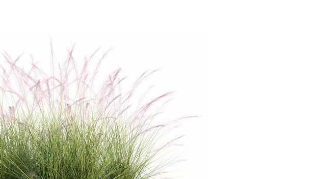 针茅野草园艺绿植观赏植物958887免抠图片素材