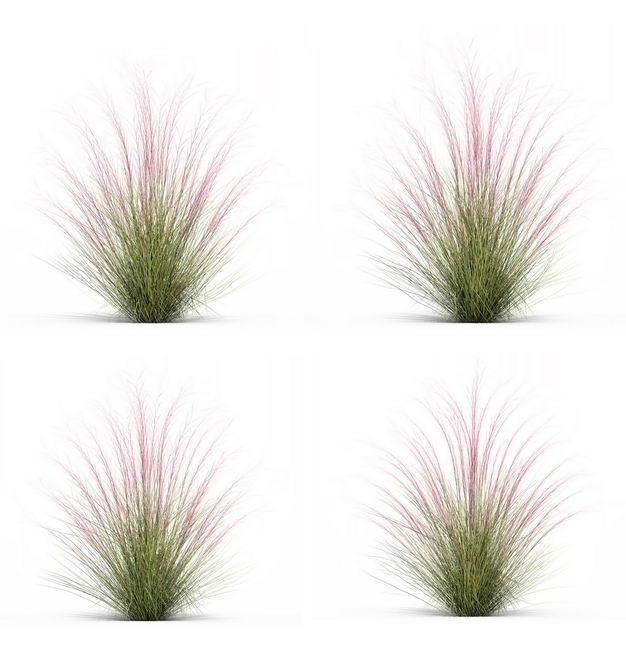 四款3D渲染的细茎针茅野草园艺绿植观赏植物308811免抠图片素材