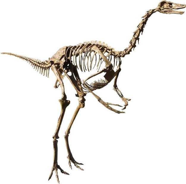 似鸵龙似鸟龙晚白垩纪恐龙化石骨架5652767png图片免抠素材