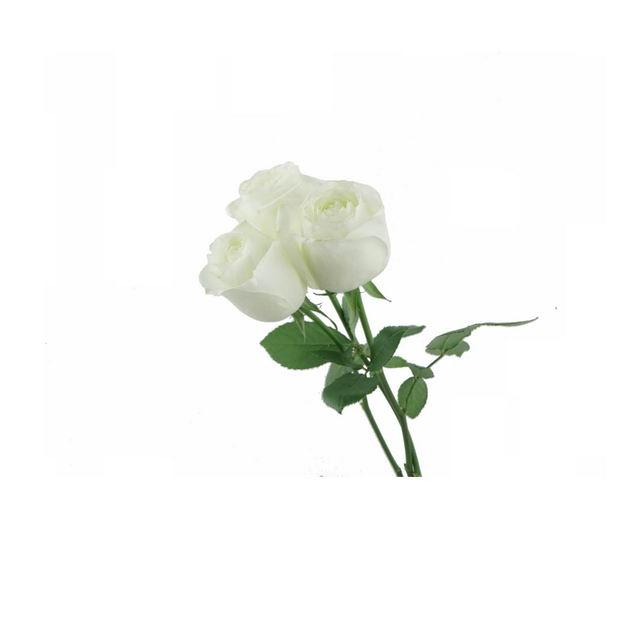 三朵带叶子的白玫瑰花朵花卉白色花朵109757png图片免抠素材 生物自然-第1张
