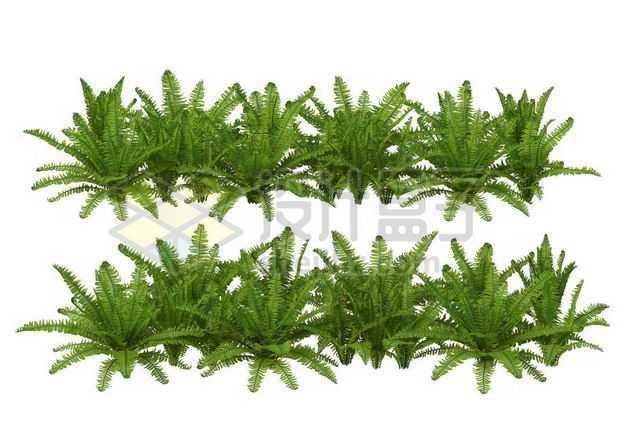两款肾蕨灌木丛园林绿植观赏植物园艺植物4555155图片免抠素材