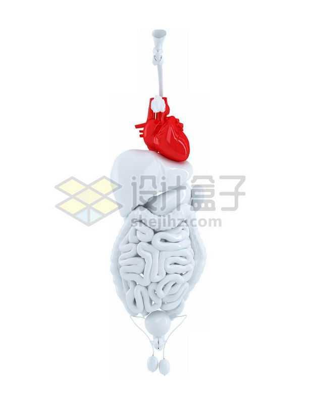 3D立体红色心脏和白色肺部肝脏大肠小肠等内脏塑料人体模型7943788免抠图片素材