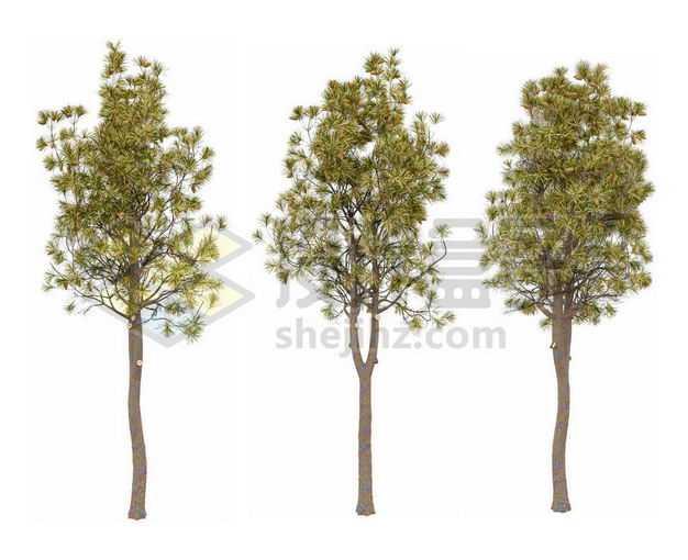 三棵郁郁葱葱的白皮松小树苗松树绿植园林植被观赏植物8380142图片免抠素材