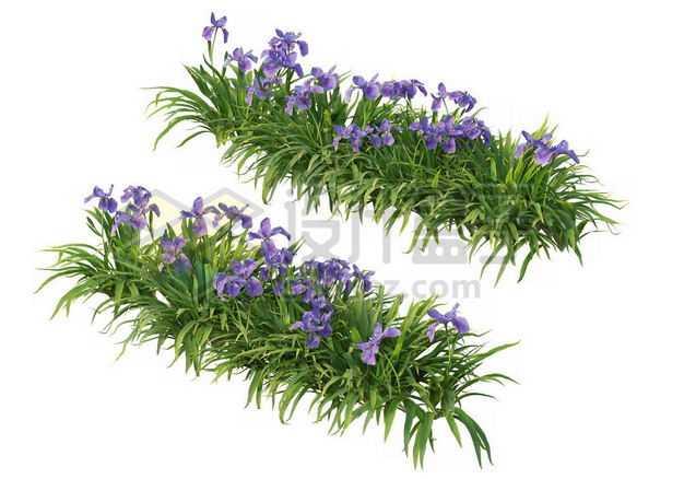 两款花菖蒲花丛花卉花朵鲜花园林绿植观赏植物园艺植物4514165图片免抠素材