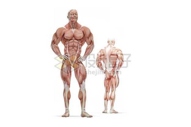 两款男性人体肌肉模型全身肌肉组织解剖示意图1969925图片免抠素材