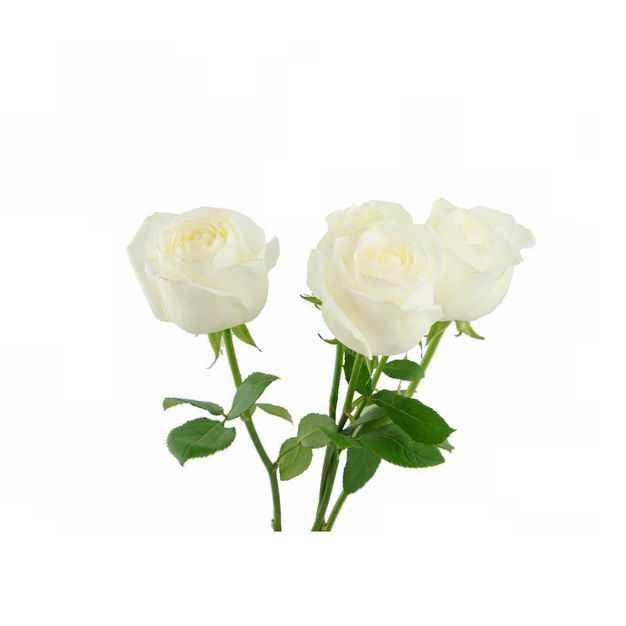 三朵带枝叶的白玫瑰花鲜花白色花朵425997png图片免抠素材