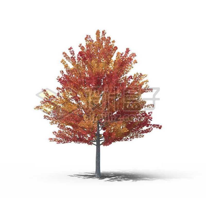 一棵红色的枫香树景观树木大树2421359图片免抠素材