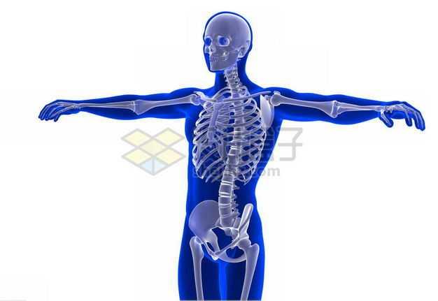 3D立体蓝色人体模型和张开双臂的人体骨骼骨架5522969免抠图片素材