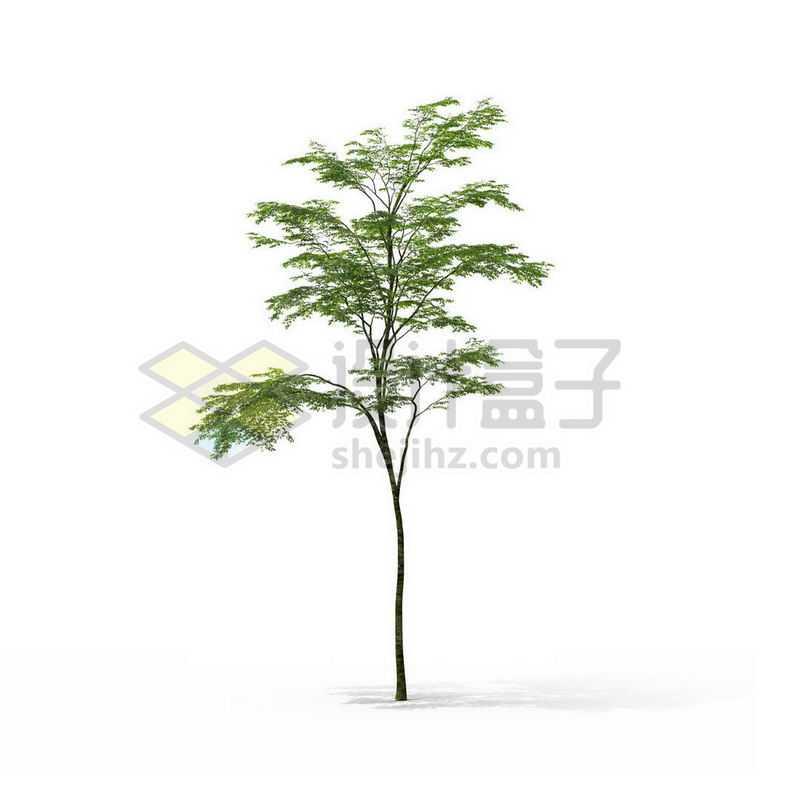 一棵春天夏天的鸡爪槭景观树木绿色大树7394557图片免抠素材
