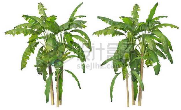 两丛郁郁葱葱的芭蕉树绿植园林植被观赏植物4055661图片免抠素材