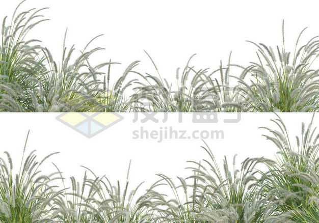 两款狼尾草草丛园林绿植观赏植物园艺植物7520878图片免抠素材