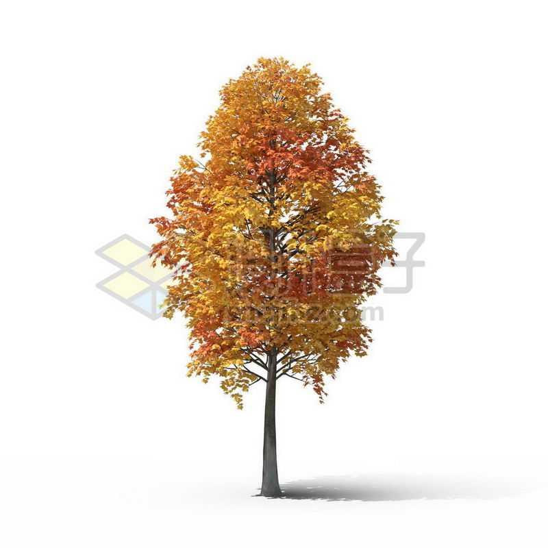 一棵秋天黄色的鹅掌楸景观树木大树8051559图片免抠素材
