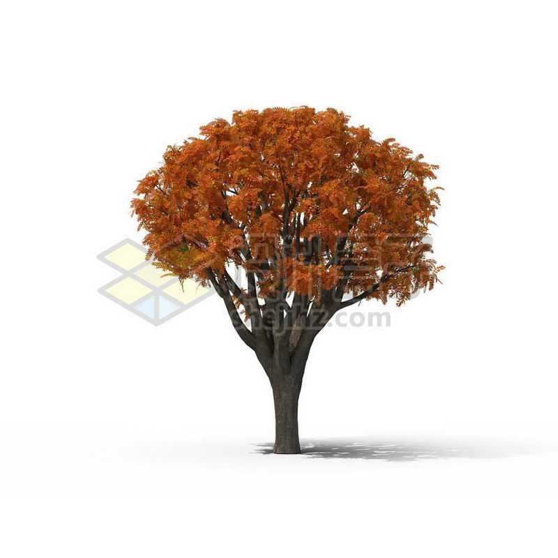 一棵秋天红色的五角枫景观树木大树6106066图片免抠素材
