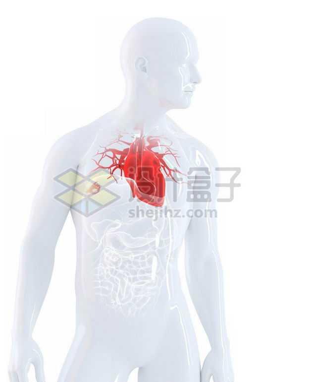 3D立体红色心脏等内脏塑料人体模型9958111免抠图片素材