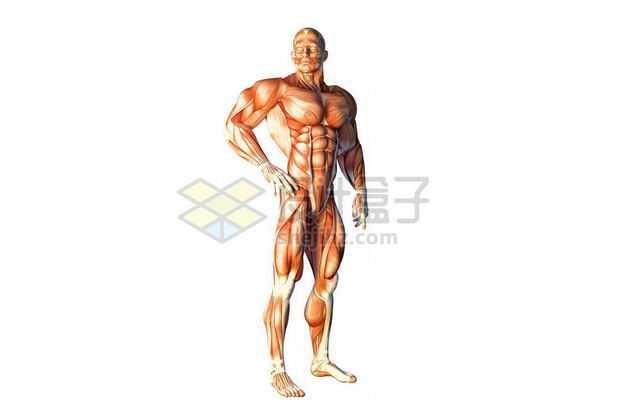 3D立体彩色肌肉结构塑料人体模型6363371免抠图片素材