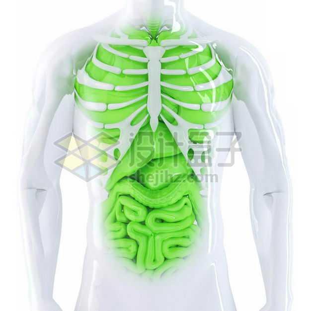 3D立体胸腔绿色肺部心脏肝脏大肠小肠等内脏塑料人体模型2022363免抠图片素材