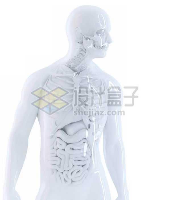 3D立体白色骨架和肺部心脏肝脏大肠小肠等内脏塑料人体模型7892855免抠图片素材