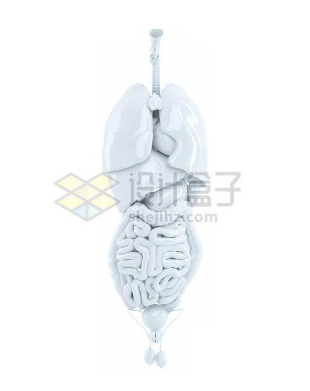 3D立体白色心脏和肺部肝脏大肠小肠等内脏塑料人体模型6916848图片免抠素材