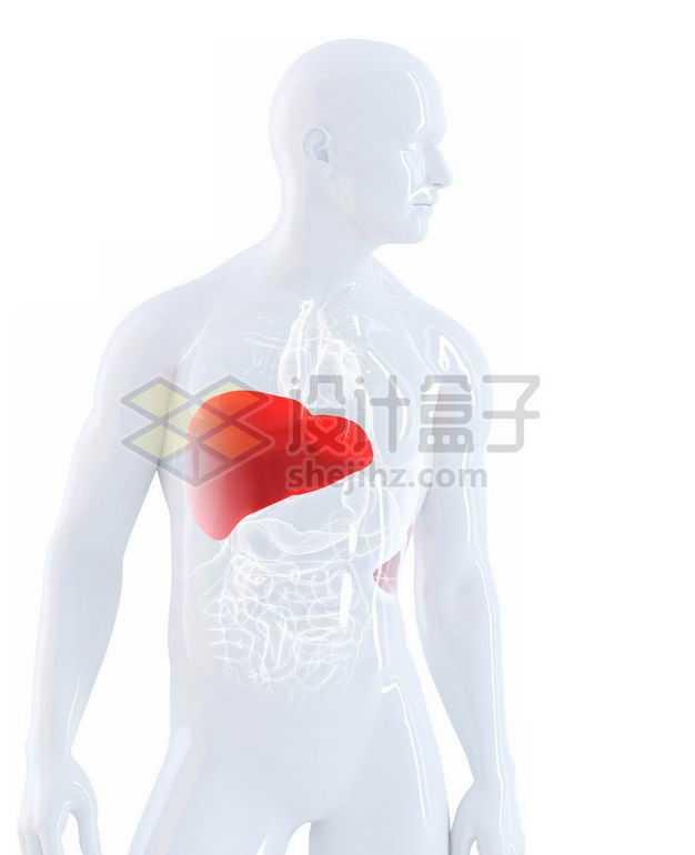 3D立体红色肝脏和白色心脏肺部肝脏大肠小肠等内脏塑料人体模型9532140图片免抠素材