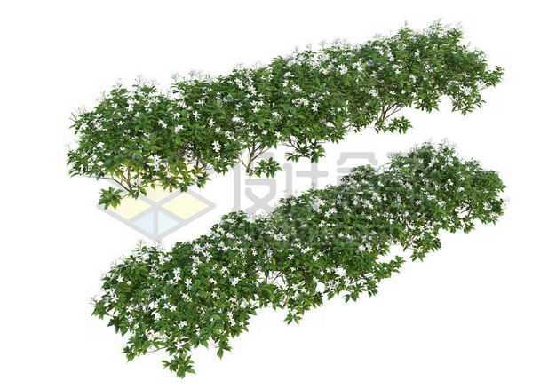 两款栀子花灌木丛园林绿植观赏植物园艺植物4315637图片免抠素材