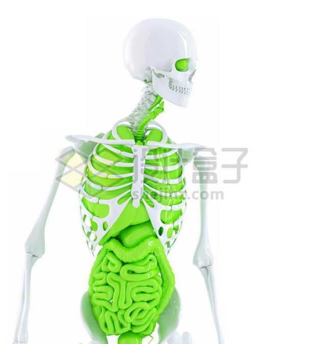 3D立体白色骨架绿色肺部心脏肝脏大肠小肠等内脏塑料人体模型7647456免抠图片素材