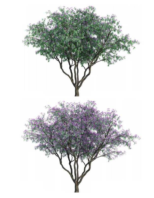 两款3D渲染的刺槐蓝花楹紫色大树绿植观赏植物8228250png图片免抠素材