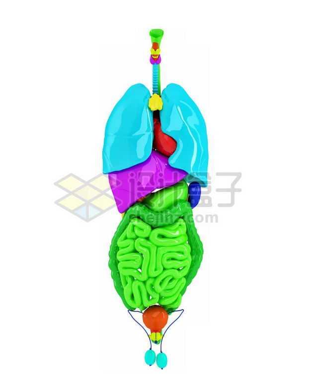 3D立体彩色心脏肺部肝脏大肠小肠等内脏塑料人体模型8047888图片免抠素材