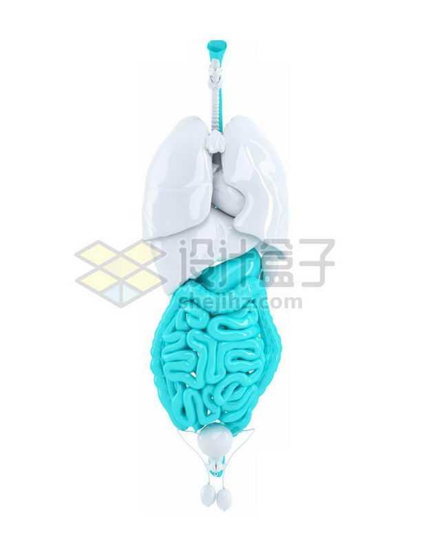 3D立体天蓝色食道胃部大肠小肠等消化系统等内脏塑料人体模型4881700免抠图片素材