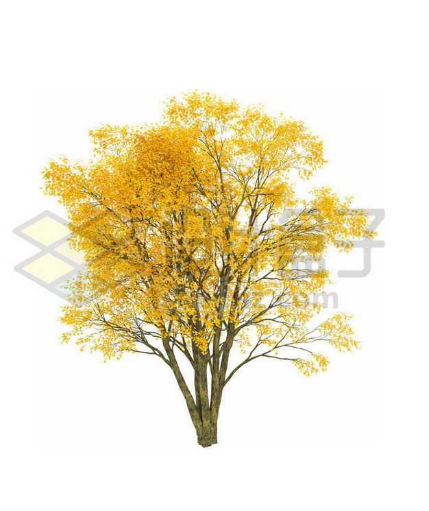 秋天树叶黄了的白蜡树大树6198477PSD图片免抠素材