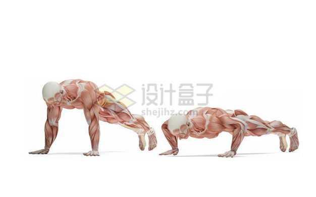 做俯卧撑的男性人体肌肉模型全身肌肉组织解剖示意图8369653图片免抠素材