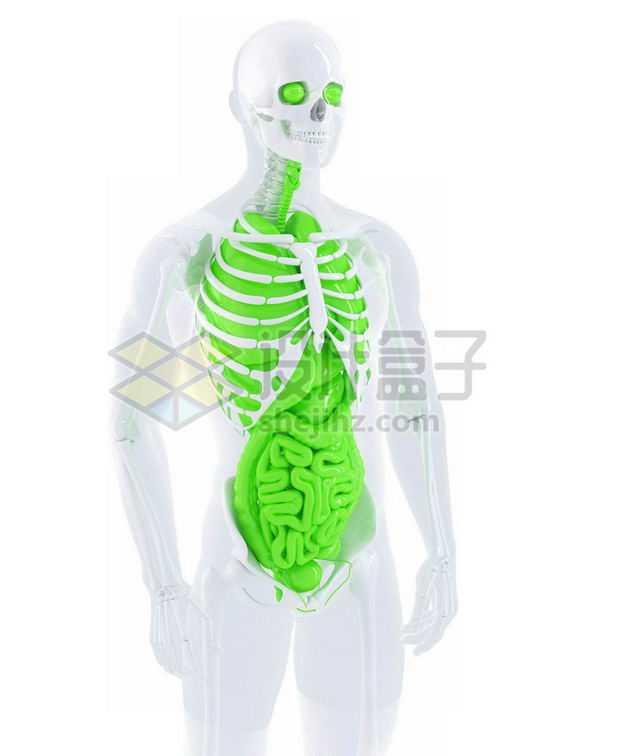 3D立体白色骨架绿色肺部心脏肝脏大肠小肠等内脏塑料人体模型6540834免抠图片素材