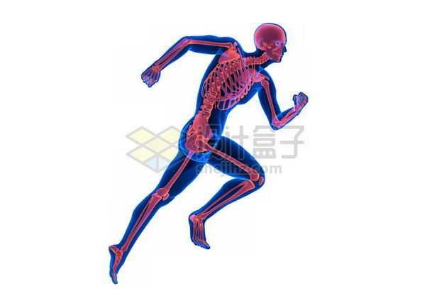 3D立体蓝色人体模型和奔跑的红色人体骨架骨骼8608564免抠图片素材